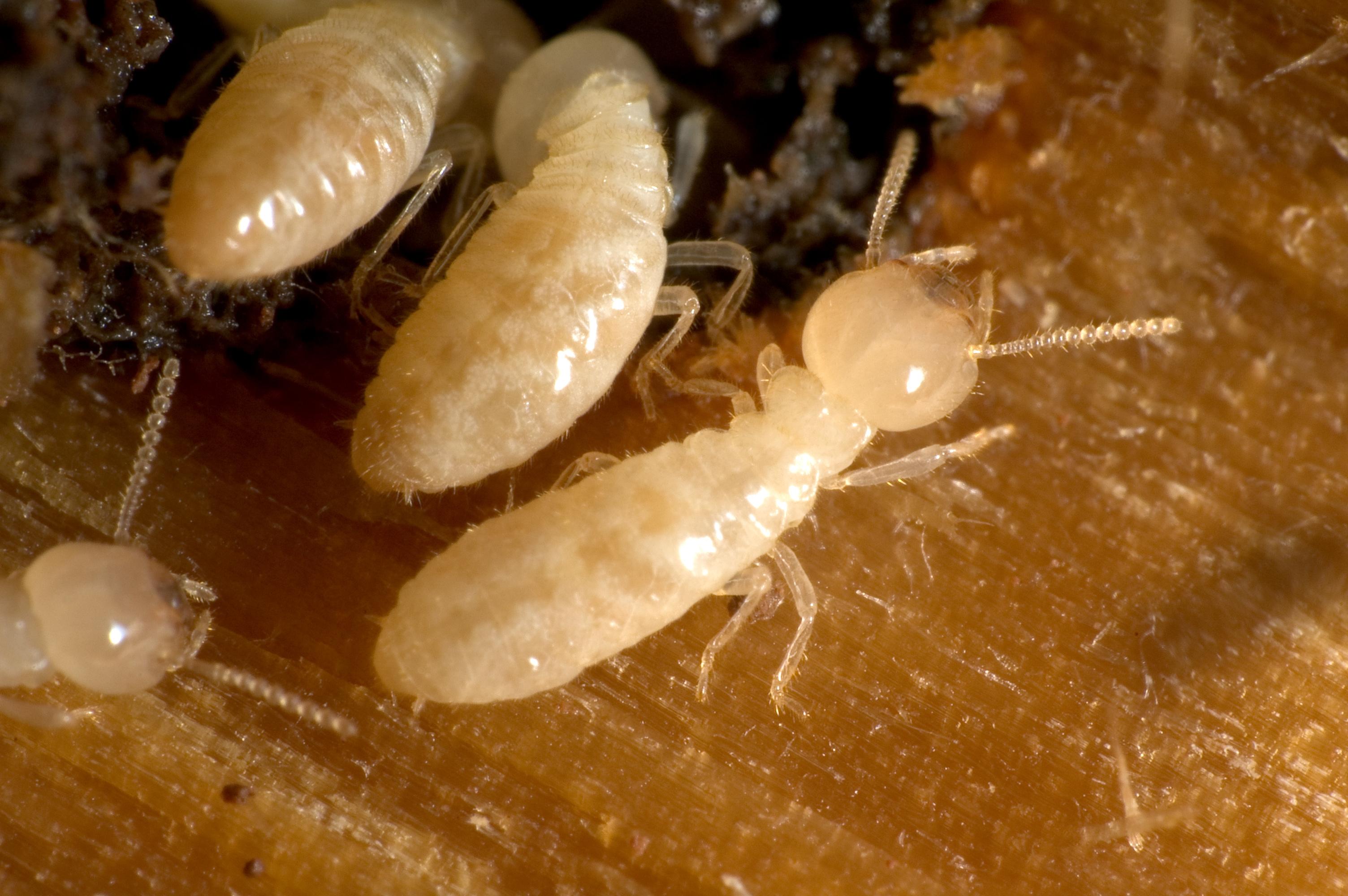 Control de plagas de termitas: Deshacerse de las termitas